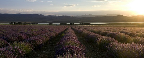 young-living-lavender-farm